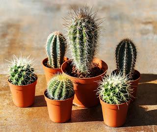 Plant. Cactus in the pot