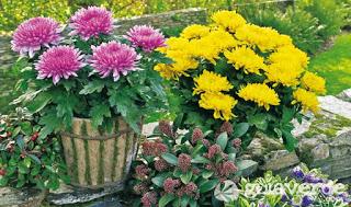 Crisantemo-una-flor-imperial