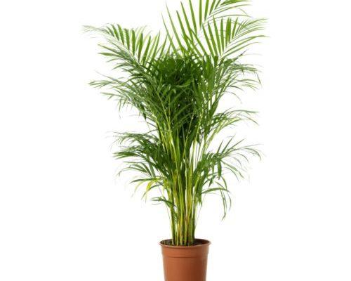 Areca-Plantas-para-oficina-CO2-1